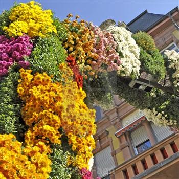 Black Forest - Chrysanthemum Festival